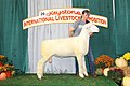 Grand Champion Dorset Ram of the Open and Jr. Shows (45227768701).jpg