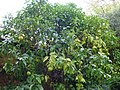 Grapefruit tree at Chelsea Physic Garden.jpg