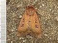 Graphiphora augur (14477007741).jpg