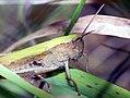 Grashüpfer - Grasshopper (19832901509).jpg