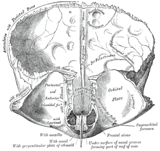 Foramen cecum (frontal bone) - Frontal bone. Inner surface. (Foramen cecum visible as black hole near center bottom.)