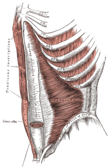 musculus pyramidalis (vlevo dole, malým písmem)