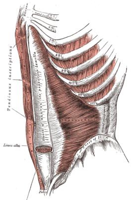 musculus transversus abdominis, musculus rectus abdominis en musculus pyramidalis.