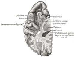 Temporal lobe - Wikipedia
