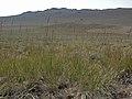 Great Basin wildrye, Elymus cinereus (26938020792).jpg