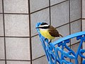 Great Kiskadee (6027672441).jpg