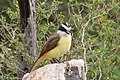 Great Kiskadee National Butterfly Center Mission TX 2018-03-13 13-41-04 (40274656104).jpg