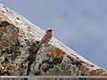 Great Rosefinch (Carpodacus rubicilla) (34800341471).jpg
