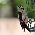 Great spotted woodpecker (E) (9108230215).jpg