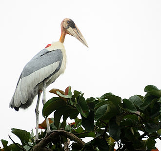 Greater adjutant Greater Adjutant.jpg