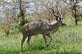 Greater Kudu (Tragelaphus strepsiceros) (17078167119).jpg