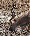 Greater Kudu (Tragelaphus strepsiceros) male drinking ... (32270716933).jpg