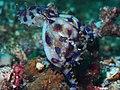 Greater blue-ringed octopus with eggs (Hapalochlaena lunulata) (16243516631).jpg