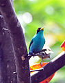Green Honeycreeper (6914806960).jpg