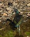 Green Ibis (Mesembrinibis cayennensis) (31706928996).jpg
