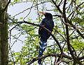 Green Wood-hoopoe (Phoeniculus purpureus) (13819175235).jpg