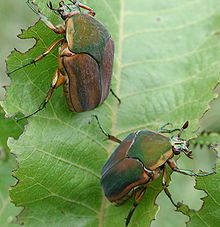 Green June Beetle2 Jpg