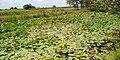 Green lush on water pond 02.jpg