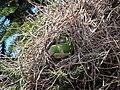 Green parrots at Parque por la Paz Villa Grimaldi - Santiago Chile - Peace Park (5277469347).jpg