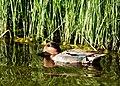 Green winged teal on Seedskadee National Wildlife Refuge (34969992143).jpg