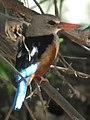 Grey-headed Kingfisher Halcyon leucocephala in Tanzania 2210 cropped Nevit.jpg