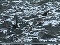 Greylag Goose (Anser anser) (23630528764).jpg