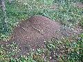 Große Rote Waldameise, Ameisenhaufen am Geschwister-Scholl-Weg Ruhland, 02.jpg