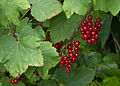 Groseilles rouges au jardin.jpg