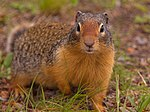 File:Ground Squirrel (2987363583).jpg