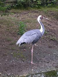 荷兰某一动物园内饲养的白枕鹤