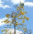 Guayacán amarillo (Tabebui a chrysantha) (14797418632).jpg