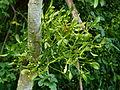 Gui sur un arbre 2.JPG