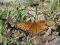 Gulf Fritillary Butterfly 72.JPG