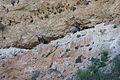Gyps fulvus - Hoces del río Duratón - 05.jpg