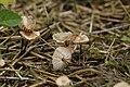 Hösel 23.07.2017 Garlic Parachute - Marasmius alliaceus (36974537235).jpg