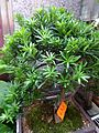 HK Aberdeen Wu Pak Street shop 羅漢松 Podocarpus green plant tree May 2016 DSC.jpg