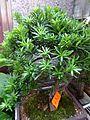 HK Aberdeen Wu Pak Street shop 羅漢松 Podocarpus green plant tree May 2016 DSC.jpg