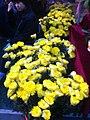 HK CWB 維園年宵市場 Victoria Park Fair - flowers yellow face Jan-2012 Ip4.jpg