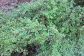 HK CWB 高士威道 Causeway Bay Road 維多利亞公園 Victoria Park green plant Sept 2017 IX1 地锦草 Humifuse Euphorbia Herb 03.jpg