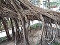 HK SW 上環 Sheung Wan卜公花園 Blake Garden 老榕樹 Chinese banyan tree 氣根 root n trunk February 2020 SS2 03.jpg