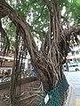 HK SW 上環 Sheung Wan卜公花園 Blake Garden 老榕樹 Chinese banyan tree 氣根 root n trunk February 2020 SS2 16.jpg