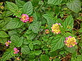 HK Shek Tong Tsui 山道花園 Hill Road Rest Garden plant leaves n small flowers Apr-2013.JPG