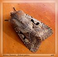 Hebrew Character. Orthosia gothica - Flickr - gailhampshire (1).jpg