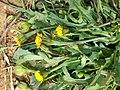 Hedypnois rhagadioloides sl5.jpg