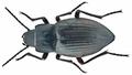Hegeter grancanariensis Lindberg, 1950 (12047238604).png
