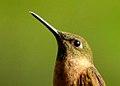 Heliodoxa rubinoides (Colibrí leonado) - Flickr - Alejandro Bayer (1).jpg