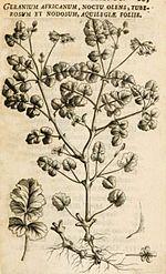 150px-Hermann_geranium_africanum1.jpg
