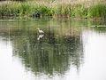 Heron (14354575826).jpg
