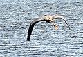 Heron in Flight Parkers Creek Jordan Lake NC SP 3814 (35335542923).jpg