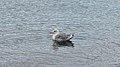 Herring Gull (Larus argentatus) - Oslo, Norway 2020-09-16.jpg